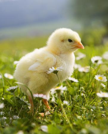 Austria,Baby Chicken In Meadow,Close Up