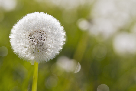 Germany,Bavaria,Common Dandelion With Morning Dew,Close Up