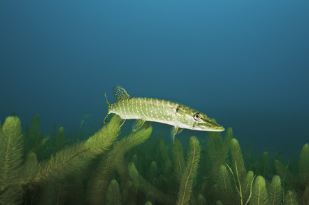 Northern Pike In Water With Milfoil