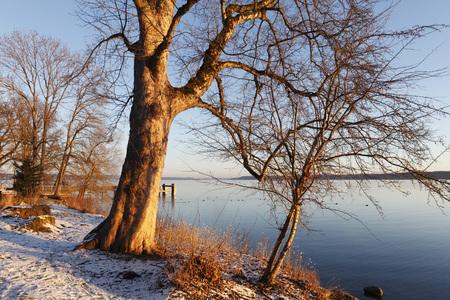 Germany,Bavaria,Maple Tree At Lake Starnberg