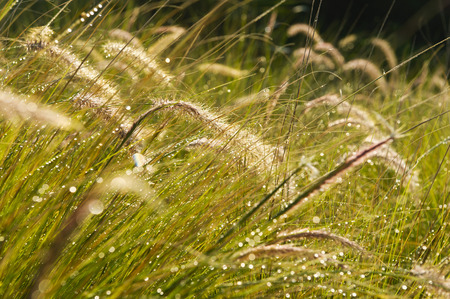 Portugal,Algarve,Sagres,View Of Grass With Water Drop,Close Up