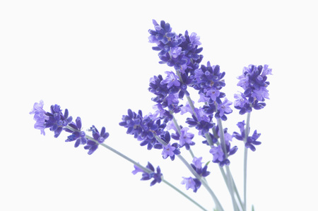 Lavender Against White Background LANG_EVOIMAGES