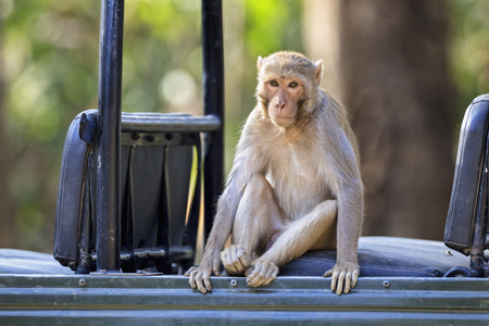 India,Uttarakhand,Rhesus Macaque Sitting In Jeep At Jim Corbett National Park LANG_EVOIMAGES