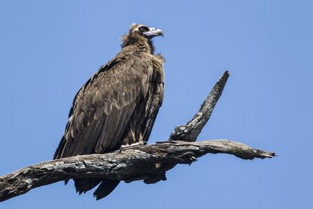 India,Uttarakhand,Vulture Perching On Branch At Jim Corbett National Park