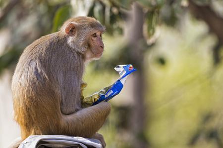 India,Uttarakhand,Rhesus Macaque At Jim Corbett National Park