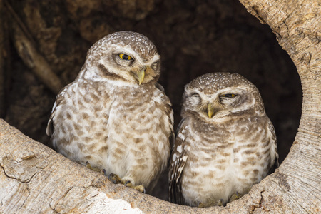 India,Madhya Pradesh,Spotted Owlets In Tree Hole At Kanha National Park LANG_EVOIMAGES