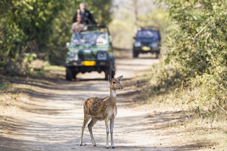India,Uttarakhand,Axis Deer In Front Of Jeeps With Tourists At Jim Corbett National Park