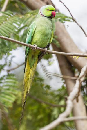 India,Uttarakhand,Rose-Ringed Parakeet Perching On Branch At Jim Corbett National Park