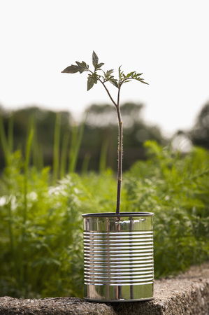 Germany,North Rhine Westphalia,Close Up Of Tomato Plant In Tin Can At Vegetable Garden LANG_EVOIMAGES