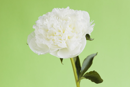 Peony Against Green Background