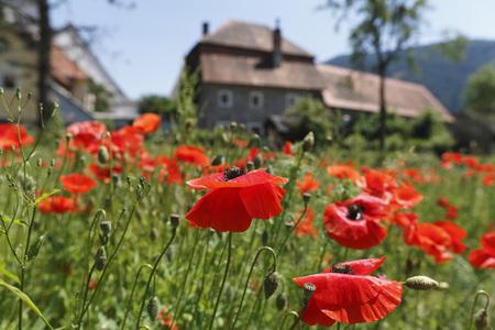 Austria,Styria,View Of Red Poppy