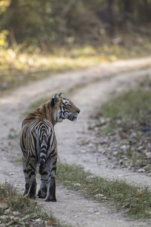 India,Madhya Pradesh,Bengal Tiger At Kanha National Park