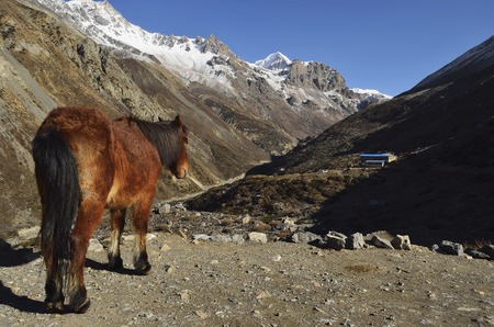 Asia,Nepal,Mule Standing On Thorung Khola Valley
