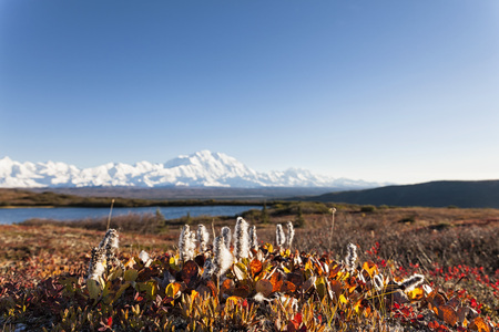 Usa,Alaska,Willow Tree In Autumn With Mount Mckinley At Denali National Park