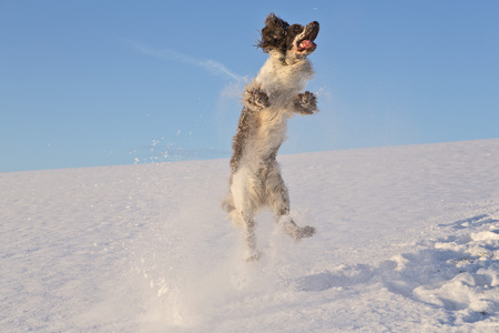 Germany,Bavaria,English Springer Spaniel Playing In Snow