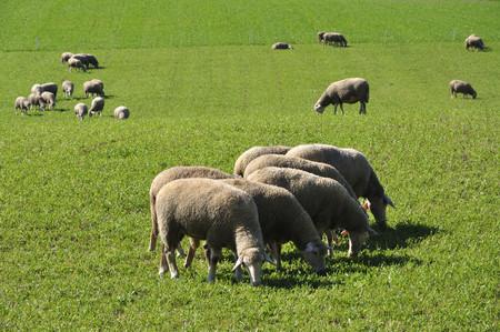 Germany,Bavaria,Sheep Grazing On Landscape