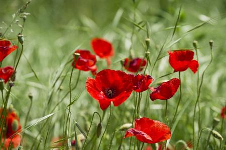 Italy,View Of Poppy Flowers