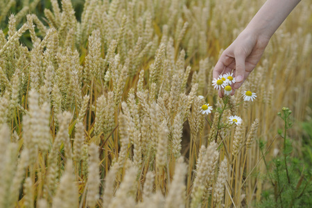 Germany,Hand Of Teenage Girl Touching Flowers In Wheat Field