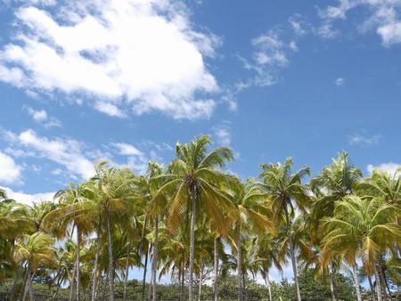 Central America,Costa Rica,Palm Grove Under Blue Sky