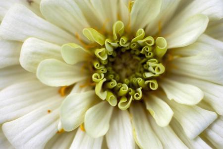 Germany,Zinnia Flower,Close Up