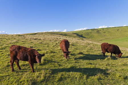 England, Cows Grazing On Pasture At West Lulworth