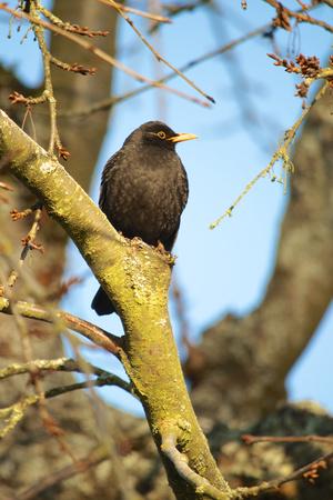 Germany,Hessen,Common Blackbird Perching On Branch