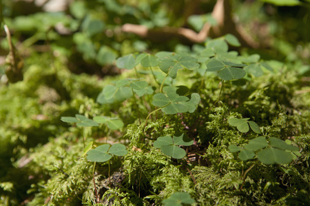 Germany,Bavaria,View Of Clover Leaves