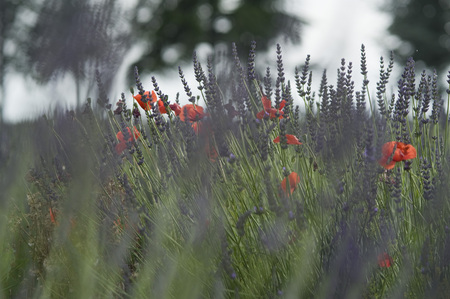 France, View Of Lavender And Red Poppy Flowers LANG_EVOIMAGES