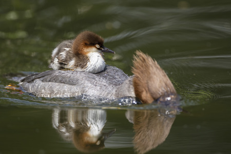 Germany,Bavaria,Goosander With Chicks On Her Back,Close Up LANG_EVOIMAGES