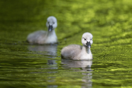 Europe,Germany,Bavaria,Swan Chicks Swimming In Water