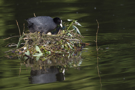 Germany,Bavaria,Munich,Eurasian Coot In Nest