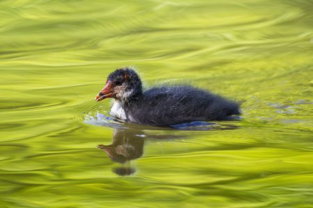 Germany,Bavaria,Eurasian Coot Chick LANG_EVOIMAGES