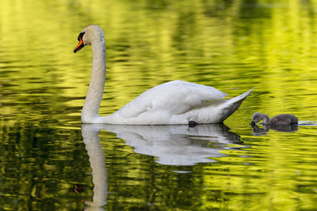 Europe,Germany,Bavaria,Swan With Chicks Swimming In Water LANG_EVOIMAGES
