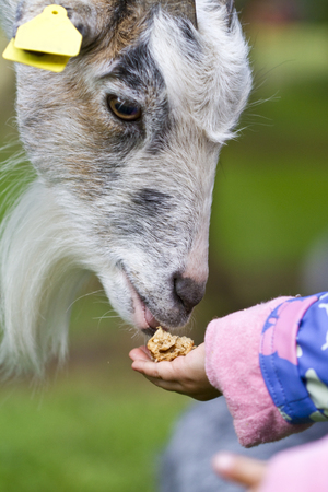 Denmark,Human Hand Feeding Goat,Close Up
