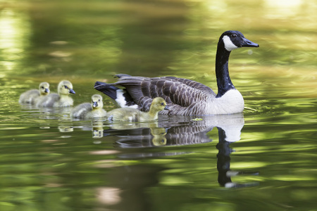 Europe,Germany,Bavaria,Canada Goose With Chick On Grass