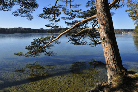 Europe,Germany,Upper Bavaria,Pine Tree On The Shore Of Ostersee