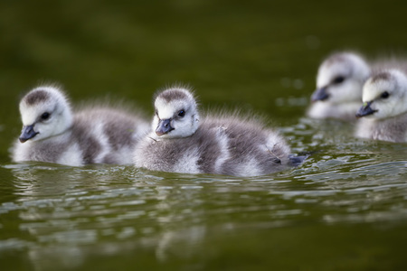 Germany,Bavaria,Barnacle Goose Chicks Swimming In Water LANG_EVOIMAGES