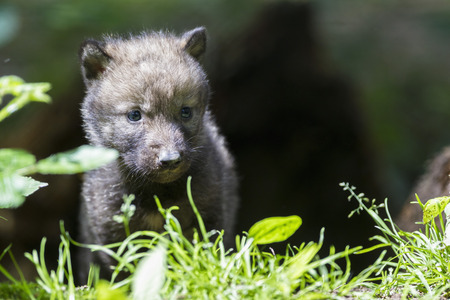 Germany,Bavaria,Gray Wolf Pup In Forest LANG_EVOIMAGES