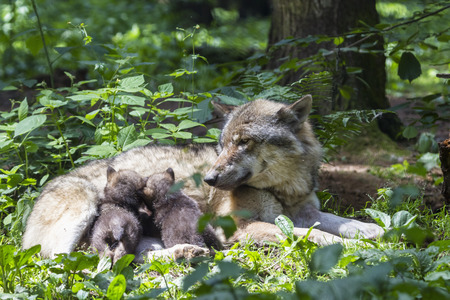 Germany,Bavaria,Gray Wolf Is Suckling Her Pups