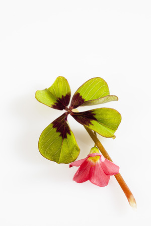 Four Clover Leaves And Red Bloom On White Background,Close Up