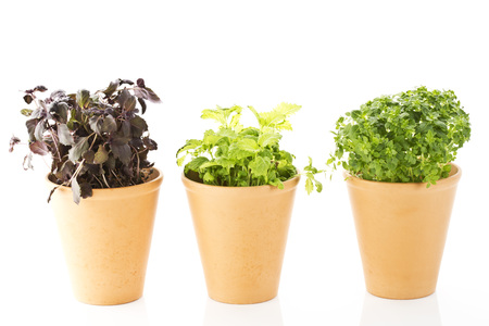 Variety Of Potted Basils On White Background,Close Up LANG_EVOIMAGES
