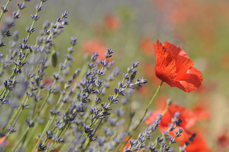 France,Poppies In Lavender Field LANG_EVOIMAGES