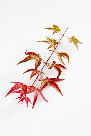 Twig Of Japanese Fan Maple,Close Up