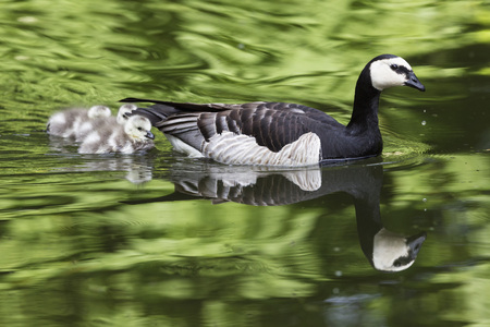Germany,Bavaria,Barnacle Goose With Chicks Swimming In Water