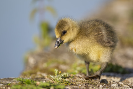 Germany,Bavaria,Barnacle Goose Chick On Grass LANG_EVOIMAGES
