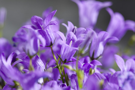 Bellflowers,Close Up LANG_EVOIMAGES