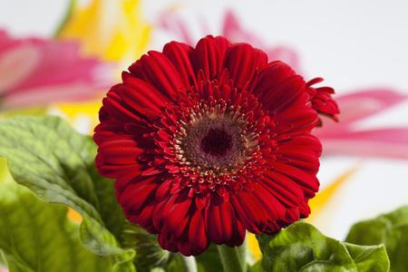 Red Gerbera Flower,Close Up