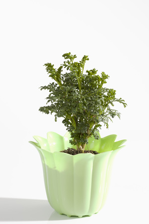 Potted Plant Of Common Rue On White Background,Close Up