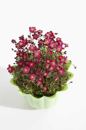 Potted Plant Of Saxifraga On White Background,Close Up