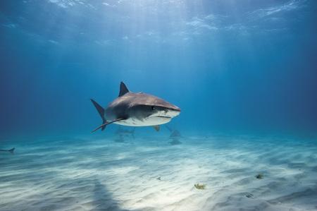 Bahamas,Tiger Shark At Bahama Bank LANG_EVOIMAGES